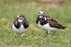 Ruddy Turnstone (Arenaria interpres) (s_uddin59) Tags: ruddyturnstone turnstone kualoa kualoaregionalpark kaneohe oahu hawaii shorebird arenariainterpres bird akekeke