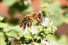 Biene 49 (rgr_944) Tags: bienenhummelnwespen bienen bee abeille insekten macro natur tiere outdoor canoneos60deos70deos80d rgr944 pflanzen blumen
