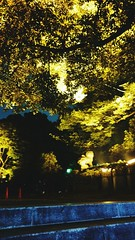 Very Autumn keaves Tree Yellow Nature Beauty In Nature Outdoors Tokyo Gold Colored Tranquility Night at Yasukuni-Jinja Shrine () (lhuga) Tags: tree yellow nature beautyinnature outdoors tokyo goldcolored tranquility night
