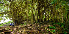 Under a shady tree (Traylor Photography) Tags: banyantree landscape tree nature canopy tourist hawaii hilo vines vacation roots massive hike unitedstates us