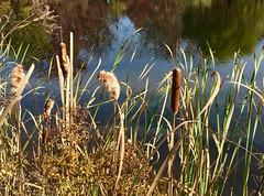 cattails (Ken Ronkowitz) Tags: cattails pond shoreline swamp autumn punks