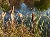 cattails (Ken Ronkowitz) Tags: cattails pond shoreline swamp autumn punks