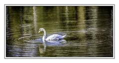 Swan in Gold (jsleighton) Tags: bird swan ripples pond lake
