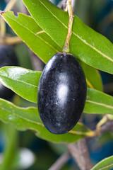 Tawa (Beilschmiedia tawa) (Nga Manu Images NZ) Tags: beilschmiediatawa fscientificnames plantsandfungi tawa trees