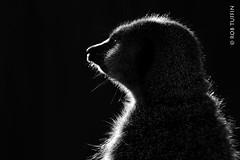 On the Lookout in the Spotlight - Meerkat at Marwell Zoo November 2016 (rewtuffphotos) Tags: meerkat spotlight nature wildlife animal shadow silhouette marwell zoo bw mono blackwhite canon