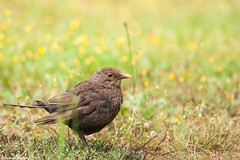Merle noir (Quentin Douchet) Tags: commonblackbird faune nature animal bird blackbird fauna merle merlenoir oiseau turdusmerula