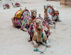 Roi mages (LynxDaemon) Tags: king camels petra decorated animal domestic sand dry colors funny jordan