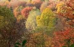 Westonbirt Arboretum in autumn splendour, Ian Wade (Disorganised Photographer - Ian Wade - Travel, Wil) Tags: westonbirt arboretum auth autumn colours fall england national trust ian wade landscape