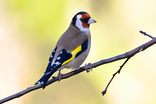Goldfinch......