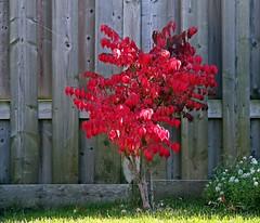 TGIF its HFF! (Daryll90ca) Tags: fence firebush backyard red