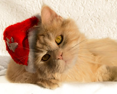 So what exactly is my job as Santa Paws ? (FocusPocus Photography) Tags: linus katze kater cat chat gato tier animal santa weihnachtskatze mtze hat weihnachten christmas haustier pet santapaws