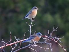 Nov26,2016 DSC06803 Western Bluebird males (terrygray) Tags: westernbluebird