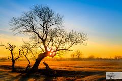 Paddock Flare (Rob Felton) Tags: cardington bedford bedfordshire felton robertfelton sky skyscape cloud light silhouette tree trees paddock gold goldenhour sunrise mist canoneos7d eos7d kit lens kitlens canonef
