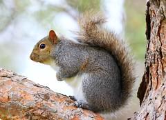 gray squirrel at Lake Meyer Park IA 854A3252 (lreis_naturalist) Tags: gray squirrel lake meyer park winneshiek county iowa larry reis