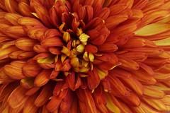 Inferno (hanley.will) Tags: chrysanthemum anthemideae red orange fire redorange petal sarahpdukegardens dukegardens garden dukeuniversity duke