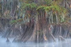A Thousand Years (Exploring Light) Tags: atchafalaya louisiana swamp cypress baldcypress fog mist morning fall autumn swamplands atchafalayabasinlouisiana