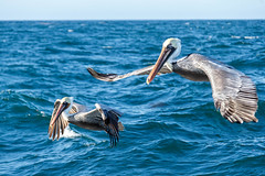 Pelicans Flying (http://fineartamerica.com/profiles/robert-bales.ht) Tags: forupload projects pelican water ocean wings nature bird wildlife brown birds flight flying shore pelecanus occidentalis blue birding pelecanusoccidentalis brownpelican coast sea birdwatching feathers animals ornithology wild feather pelicans waterfront waterfowl birdflying shorebird closeup gliding seabird fowl waterbird louisianastatebird aves birdphotography american beauty robertbales piling pouch pacificcoast pacificnorthwest