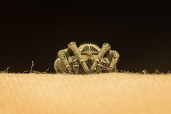 Velvet spider's journey 1 (Mika Andrianoelison) Tags: k3 madagascar macro closeup animal nature wildlife fauna bug justpentax taxonomy:family=eresidae velvet spider hairy weird