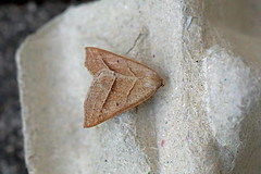 Brown Silver-line, Shipham, Somerset, England (Terathopius) Tags: shipham somerset unitedkingdom uk england greatbritain gb brownsilverline petrophorachlorosata geometridae ennominae