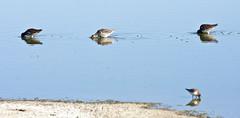 Feeding Formation -- Long-billed Dowitchers (Limnodromus scolopaceus); Wilcox, AZ, Twin Lakes [Lou Feltz] (deserttoad) Tags: wildlife nature arizona water lake desert plant bird wildbird shorebird dowitcher reflection