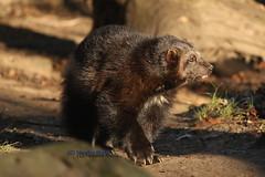 Vielfra - Wolverine (Noodles Photo) Tags: vielfras wolverine zooduisburg sugetier gulogulo brenmarder marder fleischfresser raubtier