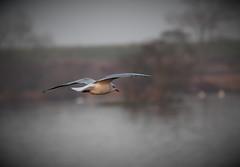 Solo Flight (jdathebowler Thanks for 965,000+ views.) Tags: soloflight blackheadedgull seabird seagull nature