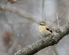 Watch It Snow (Nic.Allen.Birder) Tags: bird american goldfinch winter snow weather cold parkville missouri nature wildlife outdoors