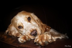 Tilly in Dad's chair....again.....! (ronalddavey80) Tags: cocker spaniel portrait