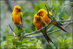 Sun Parakeet (Aratinga solstitialis) (Glenn Bartley - www.glennbartley.com) Tags: animal animalia animals aves avian bird birdwatching birds glennbartley guyana nature neotropical rainforest southamerica sunparakeetaratingasolstitialis wildlife