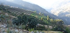 P1100969 Terraced fields bask in morning sunshine - from trail contouring ridges (8-50AM) (ks_bluechip) Tags: nepal trek dec2016 annapurna abc mbc landruk tolga pitamdeorali pothana