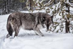 Grey Wolf Predator (David Jones 2) Tags: grey wolves wolf gray yellowstone monatana usa snow winter dave jones