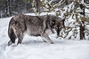 Grey Wolf Predator (David Jones 2) Tags: grey wolves wolf gray yellowstone monatana usa snow winter dave jones