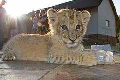 Lion cub (ColinParker777) Tags: cub milk bottle teeth yawn lions growl johannesburg