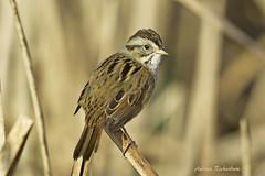 Swamp Sparrow (Andrew's Wildlife) Tags:
