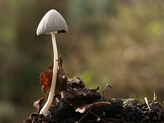 Champignon d'automne (JMVerco) Tags: autumn macro fall mushroom automne funghi autunno champignon coth dragondaggeraward