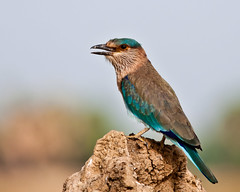 Indian roller - Explored!!! (ramsfotobites - my experiments with light) Tags: wild india lake nature water birds nikon natural wildlife birding aves tc birdwatching backwaters birder avian nationalgeographic 2014 twitcher indicus wildbirds 300mmf4 birdphotography d90 indianroller coraciasbenghalensis birdsofindia waterbody incredibleindia aviafauna birdsofchennai ramsfotobites 14tcnikkor ramkrishr