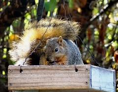 Squirrel proof birdfeeder (EcoSnake) Tags: animals squirrels feeding wildlife rodents naturecenter easternfoxsquirrel idahofishandgame