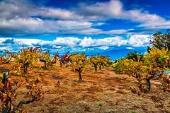 Ridge Vineyards (Baron Reznik) Tags: california usa horizontal vineyard unitedstates unitedstatesofamerica scenic vine wideangle lookout cupertino agriculture picturesque grape grapevine santaclaracounty  scenicview   colorimage  ridgevineyards  canon24105mmf4lis countyofsantaclara