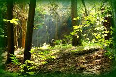 Forest - Wald (Karabelso) Tags: wood trees light green nature leaves forest germany licht sony sachsen zwickau grün wald baum gehölz schnepfendorf naturlaub gtaurock