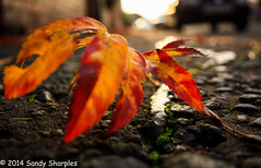 In the road (Explored) (Sandy Sharples) Tags: road autumn urban orange fall leaf dof