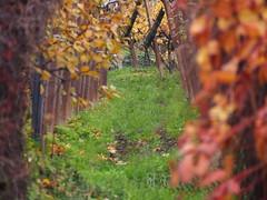 Vine grapes in Bolzano, South Tirol (sandklef) Tags: italy wine vine grape bolzano southtirol