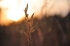 autumn glow (christiaan_25) Tags: autumn light shadow sky sun color fall nature field grass clouds season gold evening october glow meadow seeds explore 56 tassel oct82014
