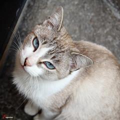 Ojos azules. (Eugercios) Tags: espaa animal cat spain espanha europa europe asturias olhos ojos gato bkue cudillero gatinho azuis azules asturies cuideiru astrias