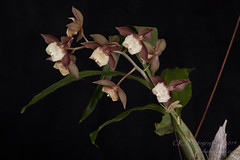 2014-4698_AOSJud_20141010_IMG_0312_CEJ_W.jpg (celainej) Tags: plant orchid green yellow beige cream magenta spot glossy american society matte aos