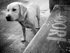 _Otto en el koori australian bar_ ([marta dez . fotografa]) Tags: dog blancoynegro canon perro labradorretriever raza labarador ixus55