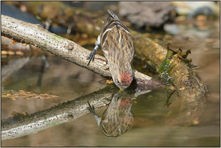 Redpoll (image 1 of 2)