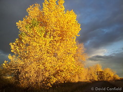 October 22, 2014 - Some fall foliage gold in Broomfield. (David Canfield)