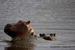 IMG_2905 (roger_the_dodger) Tags: southafrica wildlife safari hippo hippopotamus sabi sands krugernationalpark kruger simbambili