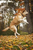 Woohoo! IT'S FALL!!! (miss_n_arrow) Tags: red orange dog brown color green fall colors yellow high jump bright air canine juneau brilliant autume huskador