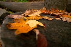 Automne 2014 (AlainC3) Tags: autumn orange nature grass yellow jaune automne rouge maple feuilles parcdumontroyal gazon
